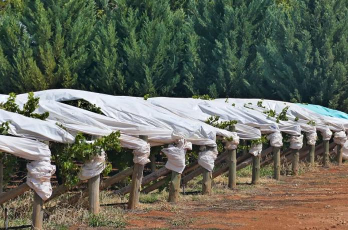 Как сберечь кусты винограда от зимних холодов: секреты огородников