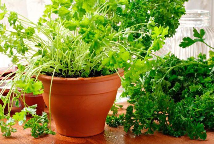 Секрет выращивания петрушки на подоконнике в квартире зимой