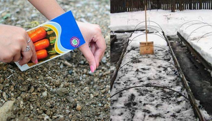 Когда посеять морковь под зиму в этом году