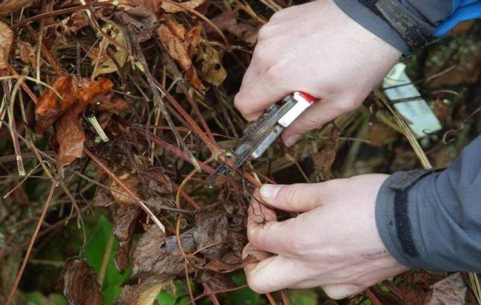 Как укрыть клематисы на зиму, чтобы не погибли цветы?