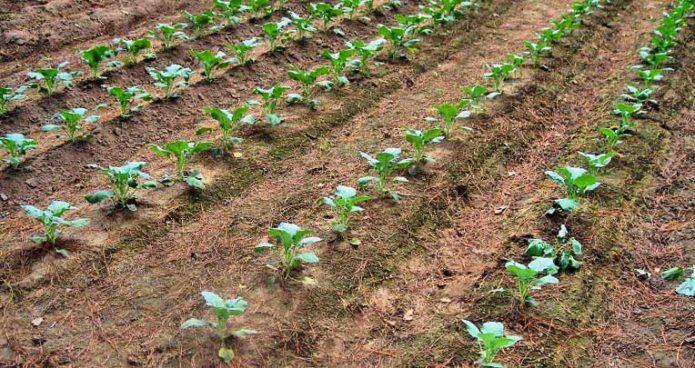 Благоприятные дни для посева брокколи на рассаду в 2020 году по луне