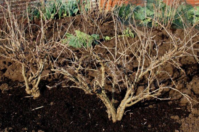 Как спасти от зимних холодов кусты крыжовника: советы опытных дачников