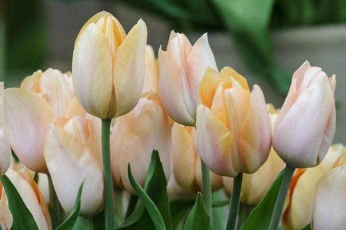 тюльпаны для домашнего выращивания