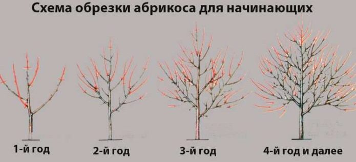 Схема, как обрезать абрикос, чтобы был хороший урожай