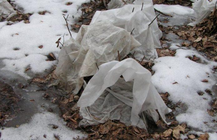 укрытый на зиму крыжовник