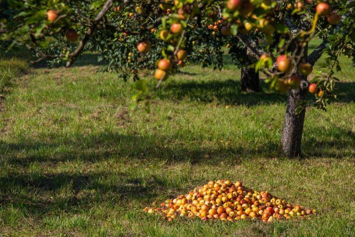 Важные советы, как подготовить правильно яблони к зиме