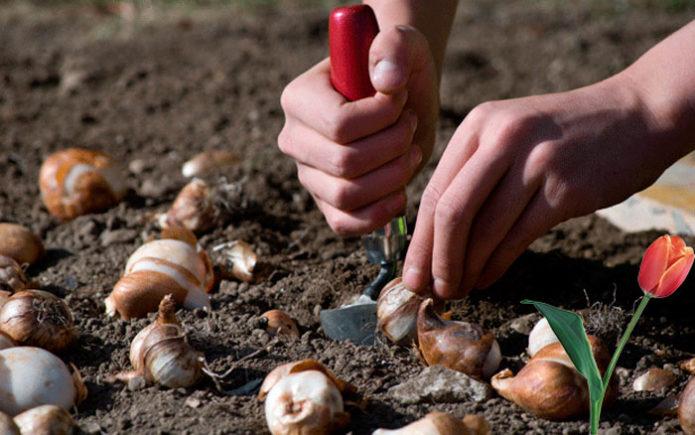 Когда и как сажать тюльпаны осенью, в каком месяце