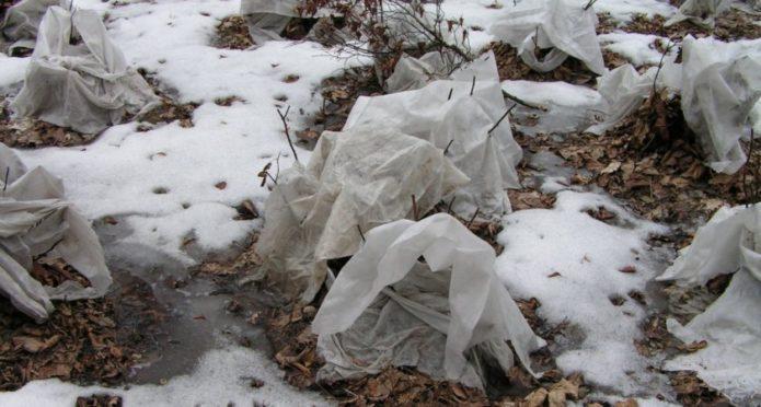Спирея посадка и уход в открытом грунте подготовка к зиме
