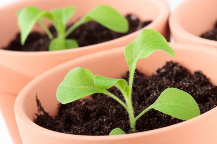 Выбираем благоприятные дни для выращивания рассады петунии в 2021 году по луне