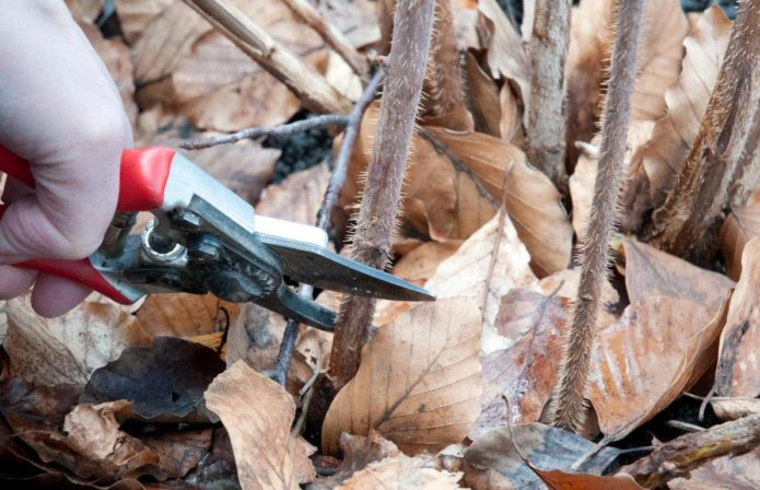 Как правильно подготовить малину к зимовке - важные советы