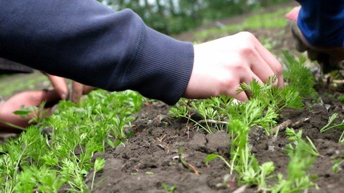 как ухаживать за морковью весной