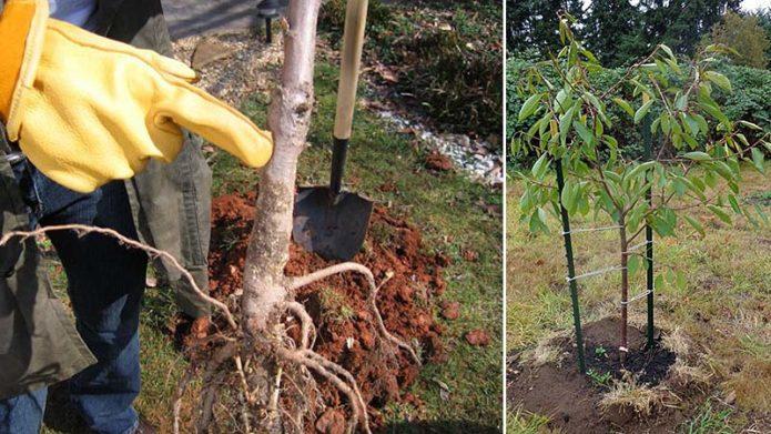 как садить саженцы вишни