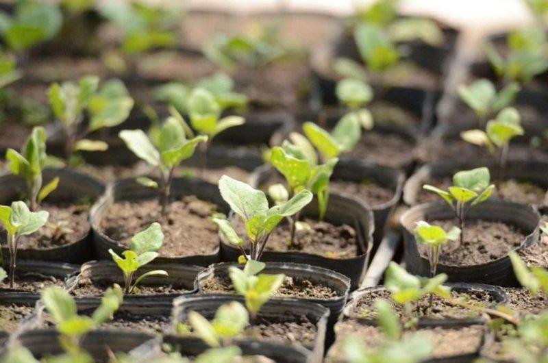 Когда сажать баклажаны на рассаду по лунному календарю в 2020 году: определяем благоприятные дни для посева семян баклажан