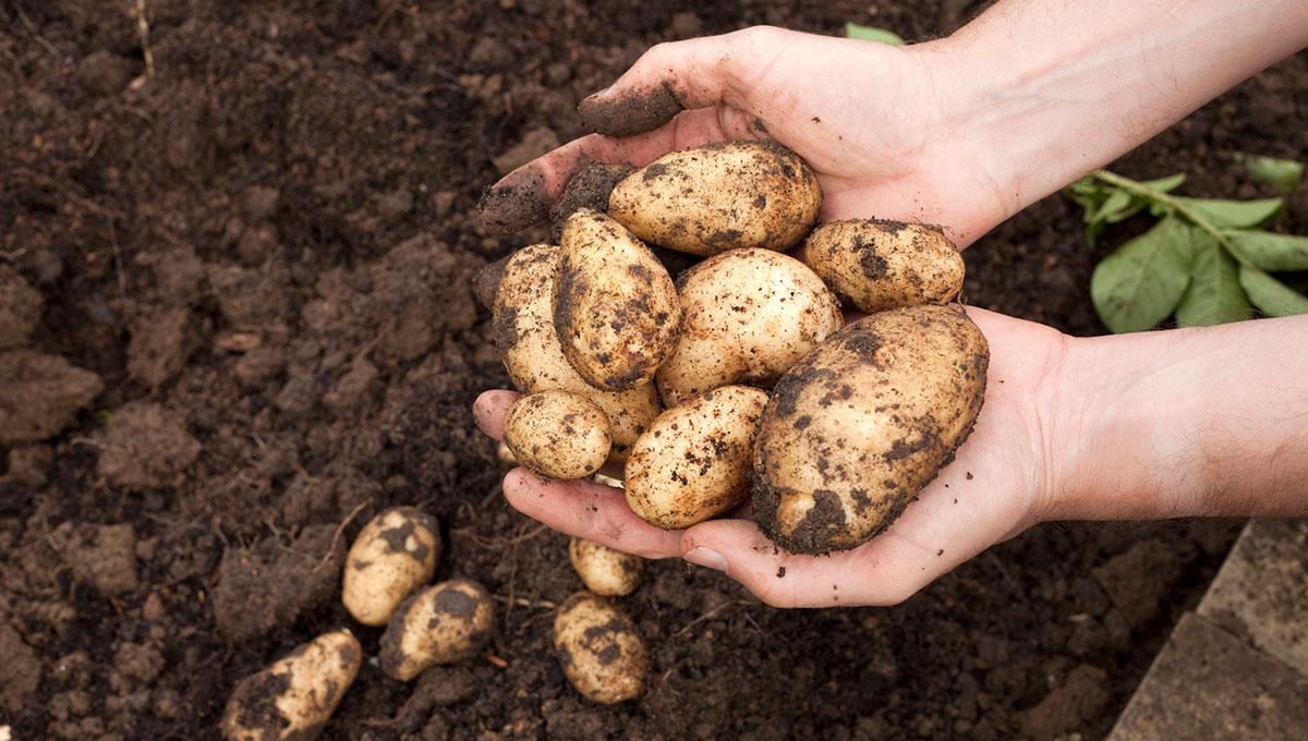 Когда выкапывать картофель на хранение по лунному календарю 2020 года: благоприятные дни для сбора урожая по регионам