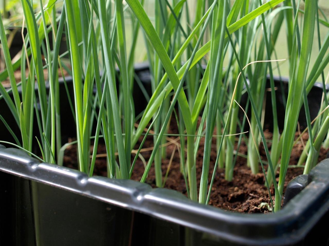 Когда сажать лук-порей на рассаду в 2020 году по лунному календарю с 24 по 31 марта: таблица и полезные рекомендации