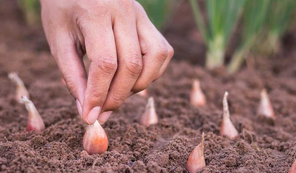 Когда и как сажать лук севок в открытый грунт весной на головку на 2020 году, чтобы были крупные луковицы: сроки посадки и полезные советы