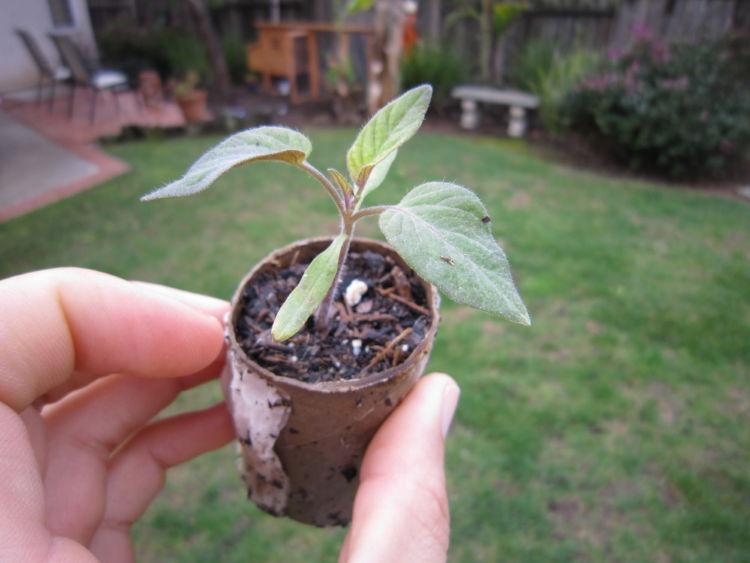 Как вырастить персик из косточки в домашних условиях, чтобы были плоды