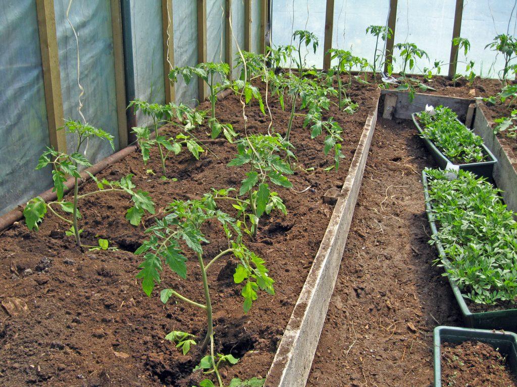 Как и когда можно высаживать рассаду помидор в теплицу из поликарбоната по лунному календарю в 2020 году по регионам