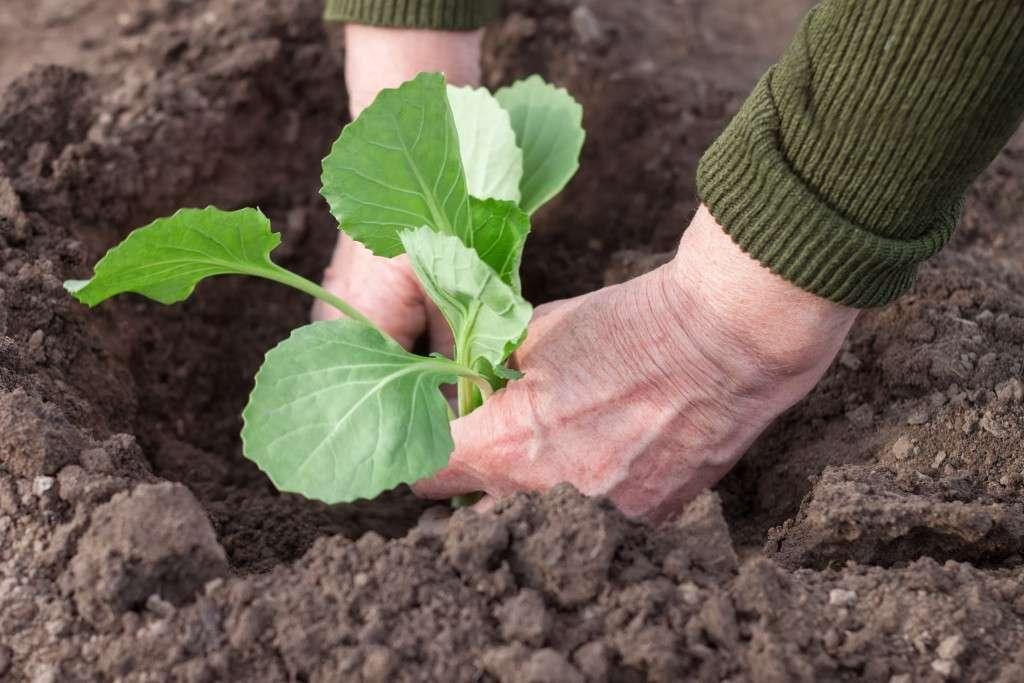 Когда можно высаживать рассаду капусты в открытый грунт в 2020 году в Подмосковье и Ленинградской области: таблица благоприятных дней