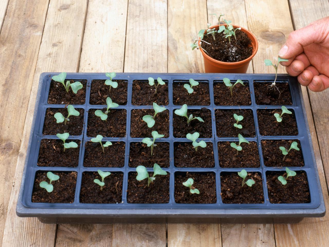 Когда сажать цветную капусту на рассаду в 2020 году по лунному календарю: таблица благоприятных дней для посева семенами
