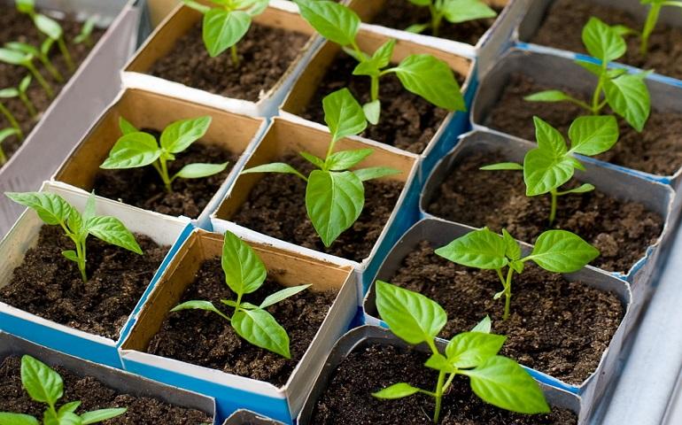 Когда сажать перец на рассаду в 2020 году в Ленинградской области: таблица благоприятных дней для посева и пересаживания