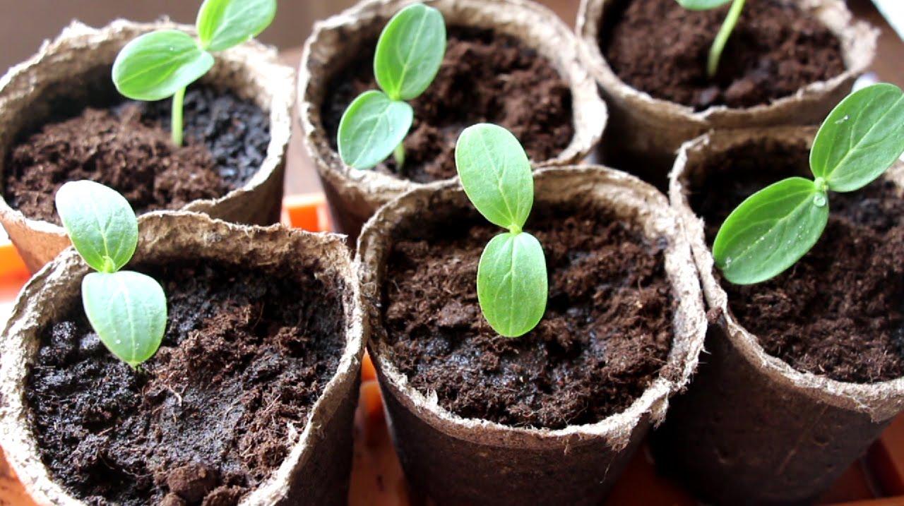 Когда сажать огурцы на рассаду в 2020 году по лунному календарю: благоприятные ни посева в январе, феврале, марте и апреле по регионам и сортам