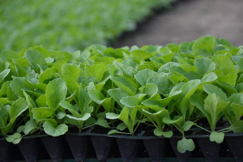 Когда сажать пекинскую капусту на рассаду в 2020 году по лунному календарю: выбираем благоприятные дни для посева семян