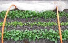 Когда можно сажать редиску в теплицу из поликарбоната в 2020 году: сроки посадки с учетом региона для получения раннего урожая