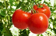 Самые урожайные томаты 2020 года - лучшие сорта для открытого грунта и теплиц, выбор сорта в зависимости от региона выращивания