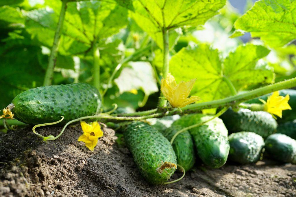 Лучшие сорта огурцов урожайные: посадка и уход
