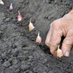 Когда сажать чеснок под зиму в 2020 году по лунному календарю: благоприятные дни для отдельных регионов