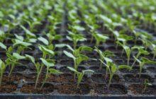 Когда сажать капусту на рассаду в 2020 году по лунному календарю в марте: расчет благоприятных дней для посева и пересадки