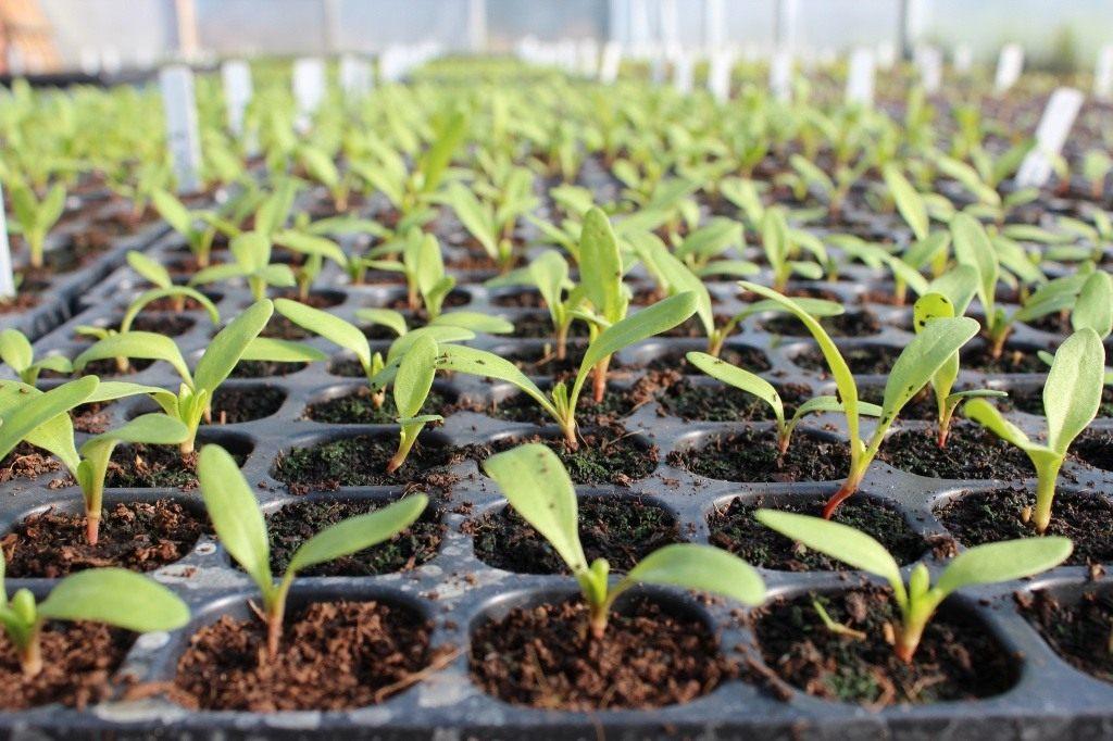 Когда сажать свеклу на рассаду в 2020 году по лунному календарю: дни, благоприятные для посева свеклы в открытый грунт и на рассаду