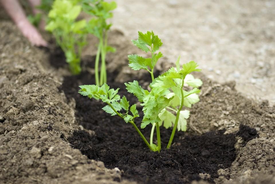 Когда сеять петрушку и укроп в открытый грунт весной по лунному календарю в 2020 году: благоприятные дни в таблице и полезные советы