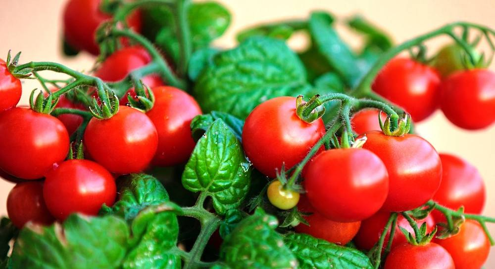 Самые урожайные сорта томатов для открытого грунта в средней полосе низкорослые