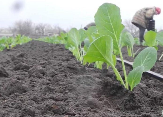 советы по выращиванию капусты в грунте
