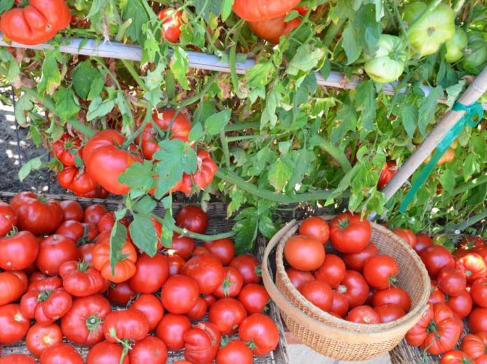 сбор урожая томатов