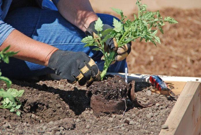 Благоприятные дни для посадки рассады помидоров в 2021 году с учетом фаз луны