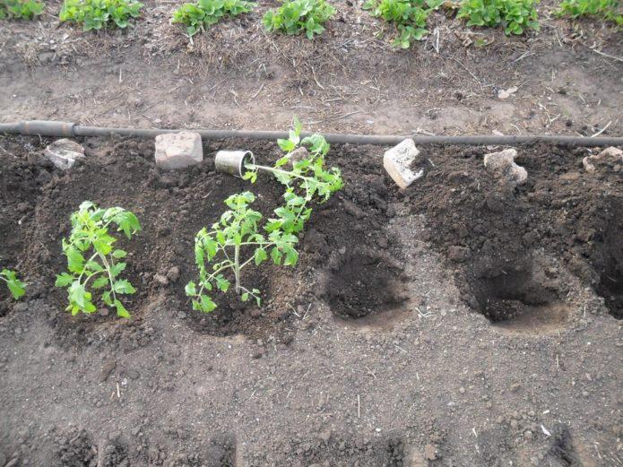 правила выращивания томатов