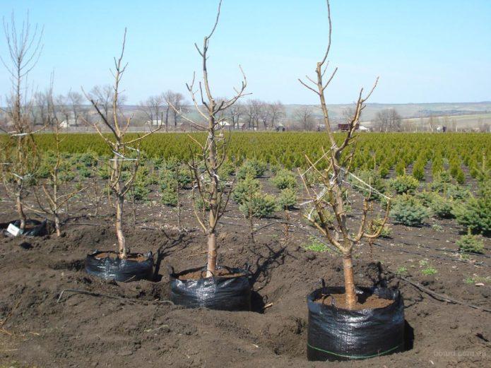 Как вырастить персик из косточки дома, чтобы были плоды