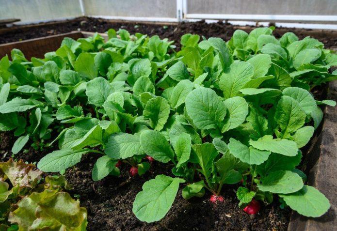 Когда посадить редиску в теплицу в 2021 году, чтобы получить ранний урожай