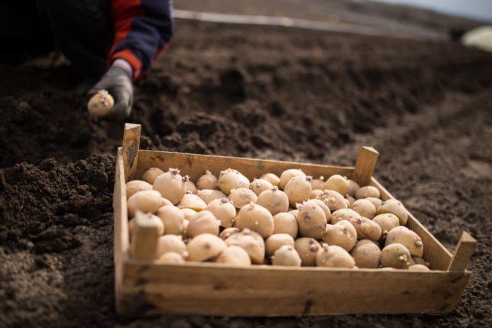 как ухаживать за картошкой после посадки