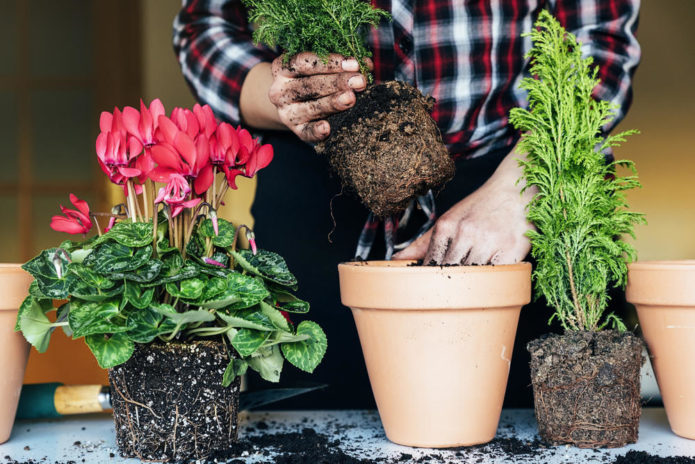 Пересаживаем домашние цветы по лунному календарю: таблица благоприятных дней