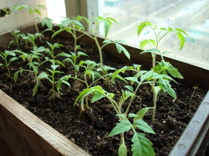 Благоприятные дни для посадки помидоров в Сибири по лунному календарь 2020 года