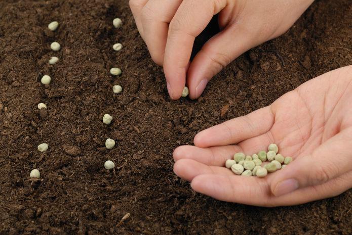 Сроки посадки гороха в открытый грунт семенами по луне на 2021 год