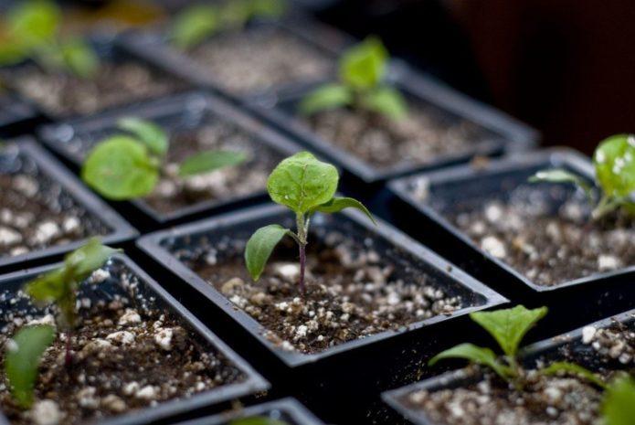 условия выращивания рассады баклажан
