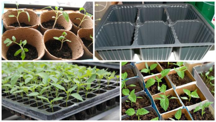 поэтапное выращивание рассады томатов