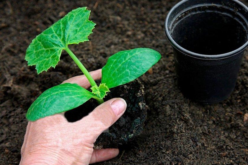 как посадить в землю пророщенные семена