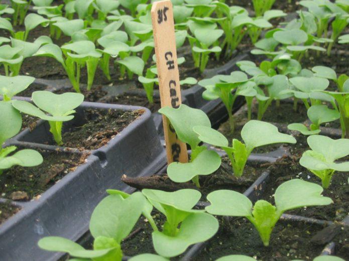 когда выращивать пекинскую капусту