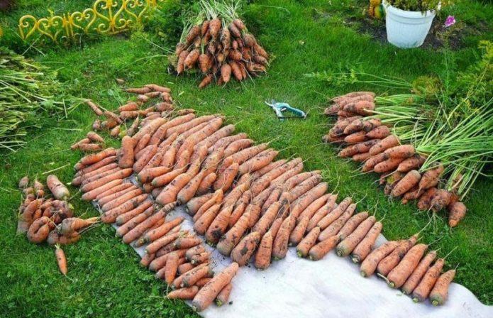 Оптимальные сроки уборки моркови на хранение: благоприятные дни по луне в 2021 году